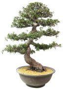 Rhododendron idicum 50 jaar oud en 33cm hoog € 1280,- +40, - verzendkosten www.bonsai.com