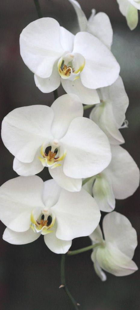 Best ideas about white orchids on pinterest orchid