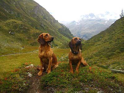 Tyrolean Hound / Tiroler Bracke