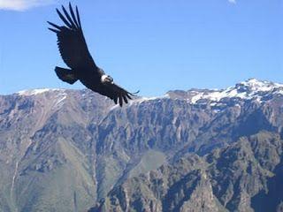 La naturaleza de los paises andinos: El cóndor de los Andes (Vultur gryphus)