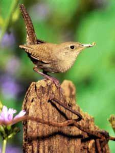 House Wren :: Bird Identification Guide :: Bird Watchers Digest