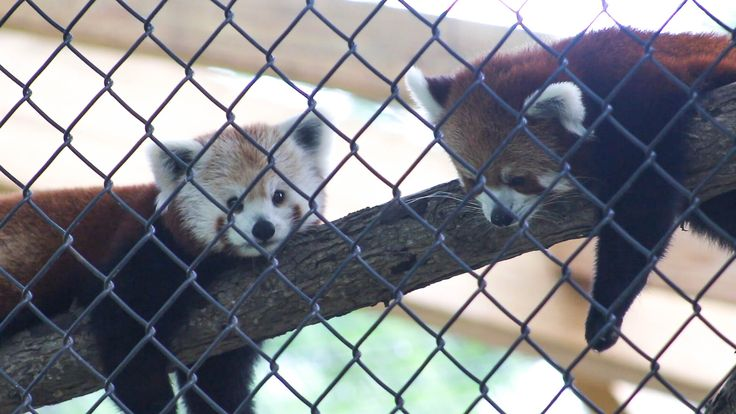 Red pandas in Potter Park Zoo   Click to connect with I Love Lansing video. The video is a visual celebration of things to do in the capital city of Michigan. #puremichigan #lovelansing #zoo #redpanda