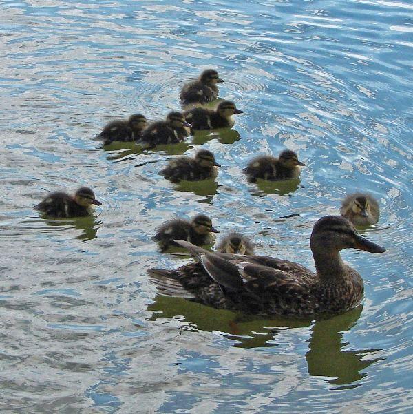 Thames Path: Mallard duckings