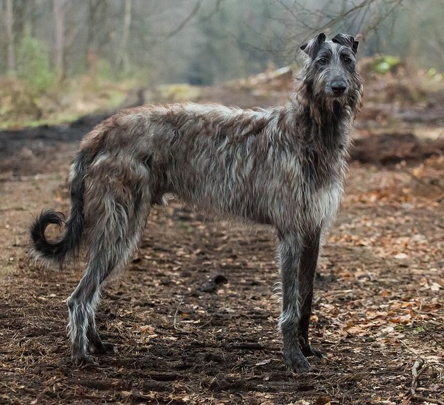 If I ever get a piece of land big enough.... my next dog will be a wolfhound. Edit: Apparently this is a Scottish Deerhound, NOT a Irish Wolfhound. :)