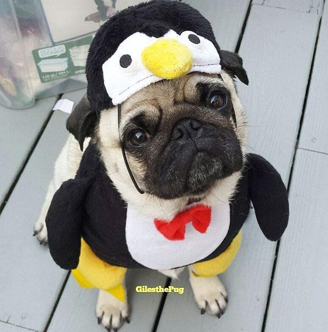From @gilesthepug pug in peguin costume