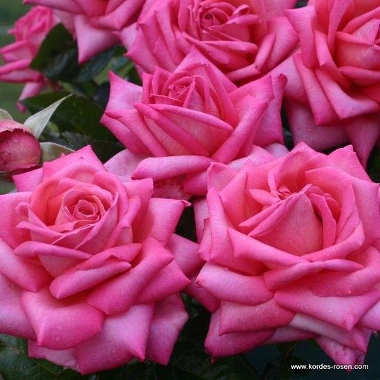 120 best wilhem kordes beautiful kordes roses images on. Black Bedroom Furniture Sets. Home Design Ideas