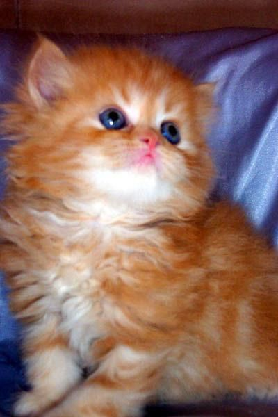 Pictures of  Lovely Himalayan Kitten--anyone else notice how much some Persian and Himalayan cats look alike?