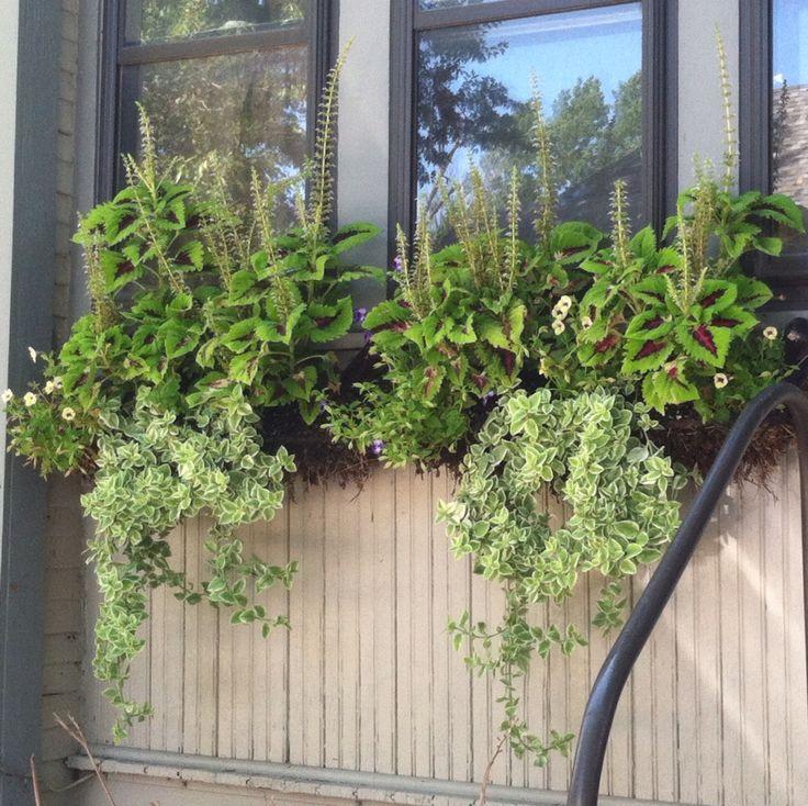 Window box east facing zone 5 coleus ice plant window - Fioriere per davanzale finestra ...
