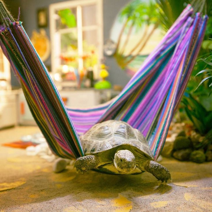 De VPRO wenst Ed een fijne internationale dag van de schildpad.  #schildpad #turtle #schilpaddag #dagvandeschildpad #worldturtleday #worldturtleday2016 #turtleday #tortoise #tortoiseday #hangmat #hoera #feest #gefeliciteerd #hammock #hammocklife #turtles #poesjes @vpropoesjes #ed @vprojeugd by @omroepvpro