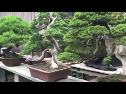 Bonsai garden in  history 2017