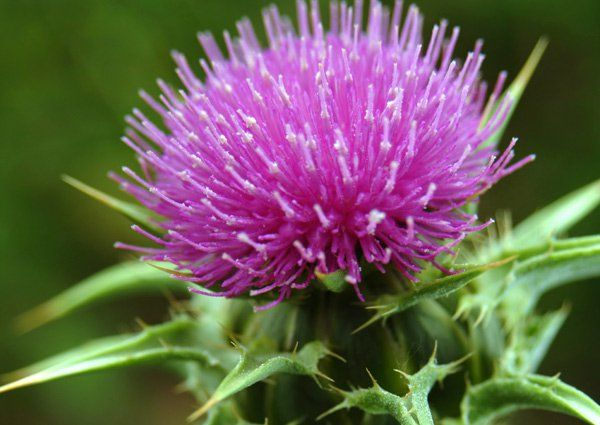 Milk Thistle Extract and Its Many Health Benefits | Wellnessbin