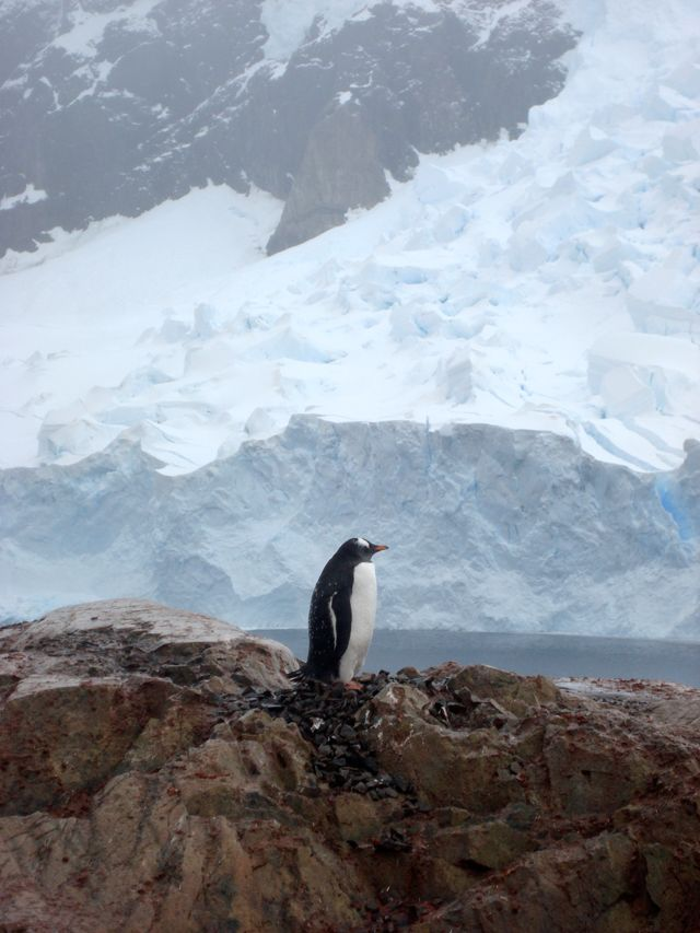 Penguin in antarctica visit to antarctica pinterest for Can anyone visit antarctica
