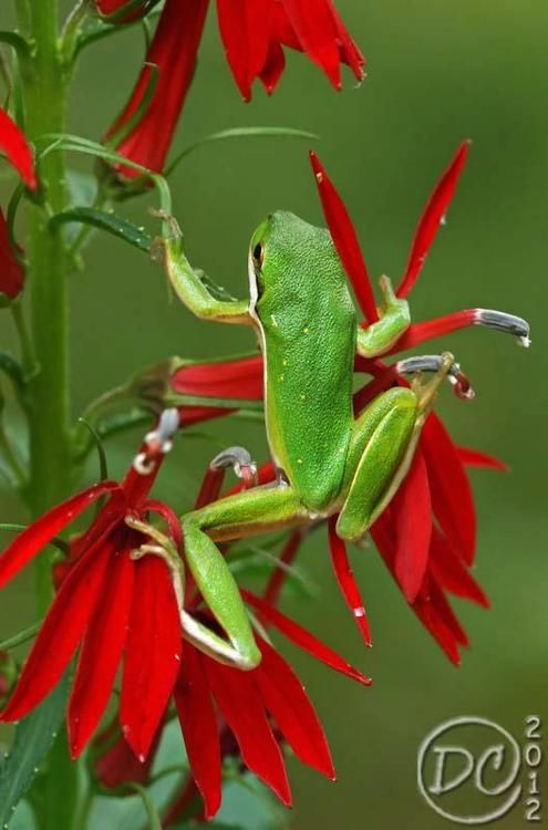 A Green Tree Frog on Cardinal Flower (via Deb Campbell photography)