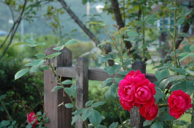 5월 정원의 장미  Rose on May.