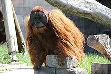 Sumatran orangutan  Male