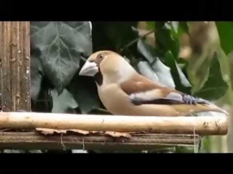 ▶ Documentaire natuur: Vogels in de tuin - Winter 2012/2013 - YouTube