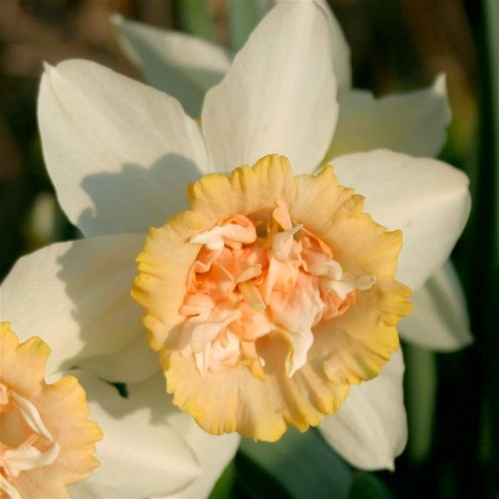 Narcissus double flowering Rosy Cloud - 10 flower bulbs