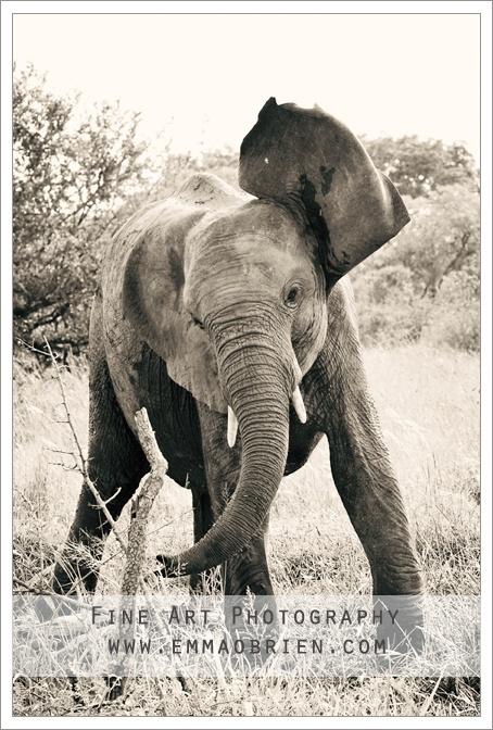 Playful elephant  http://emmaobrien.com