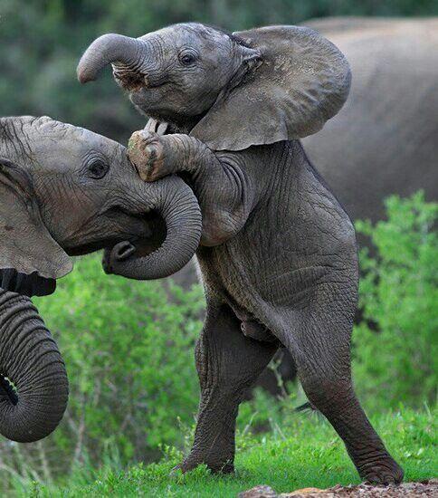 464 besten elefanten bilder auf pinterest elefantenbabys witzig und haustiere. Black Bedroom Furniture Sets. Home Design Ideas