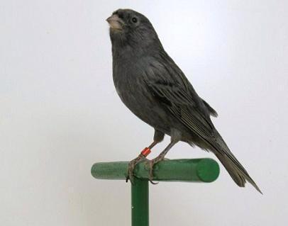 canarino nero