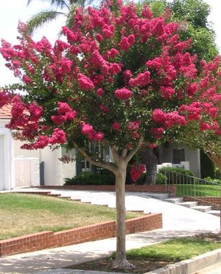 Plants and People in Preston: Crape Myrtle street trees