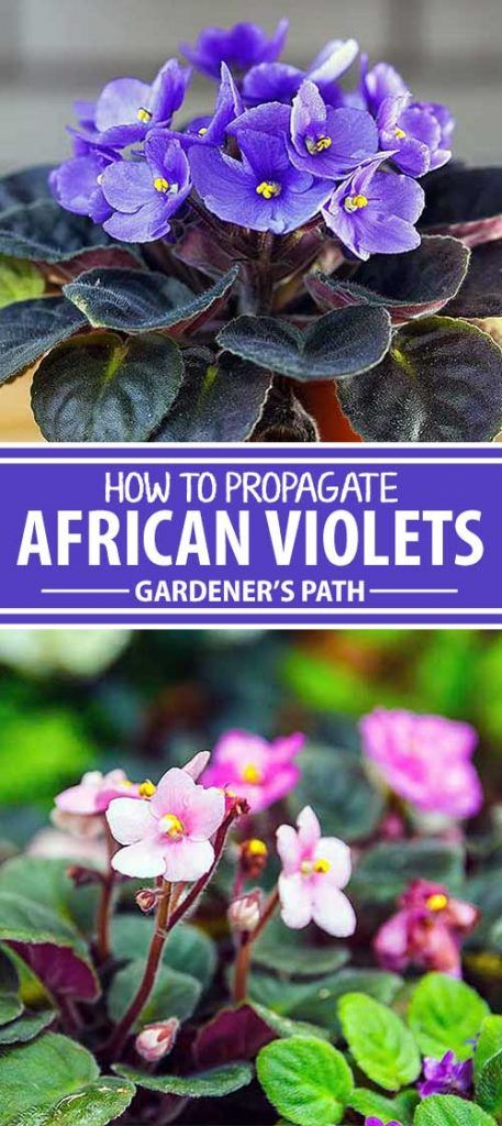 """In my long list of """"favorite plants,"""" the African violet sits comfortably somewhere near the top. That's because of its profuse and reliable blooming, the ease of care, and the mystique of being a plant native to Africa. But there's a more personal reason in there, too.  When I was in charge of..."""