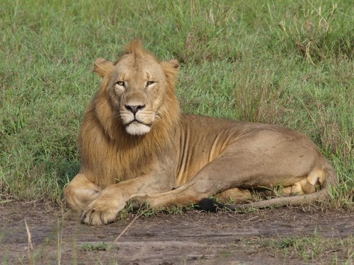 Lion seen this week by tourists at Gorongosa National Park, Mozambique. Photo by Paulo Silveira.