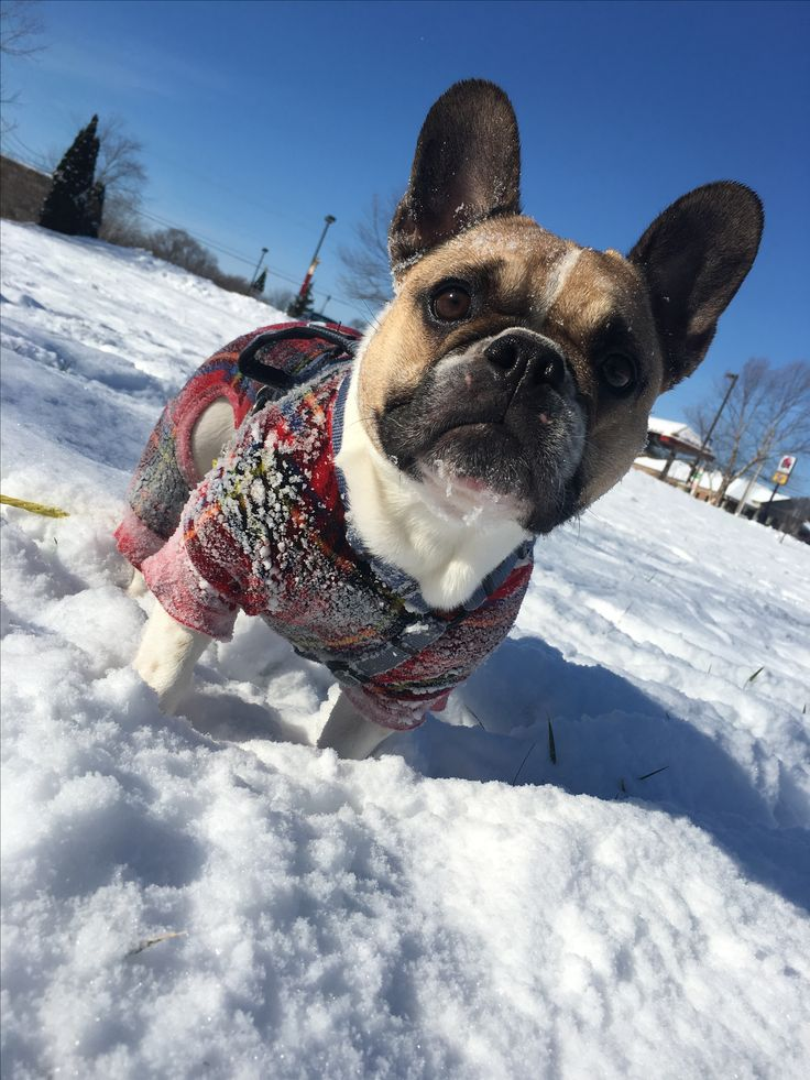 'Snow Day', French Bulldog. Frenchie