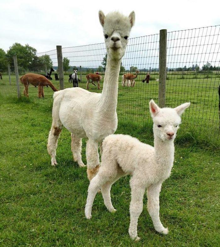 Visit This Ohio Alpaca Farm For A Fun And Fuzzy Adventure Alpaca Farm Alpaca Baby Llama