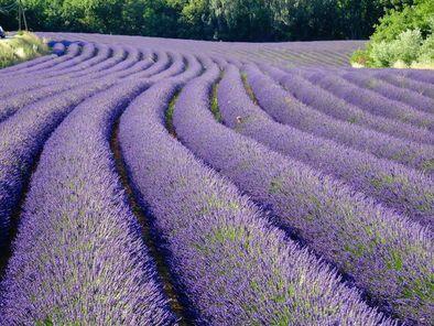 Provence Lavender Small Group Half-Day Trip - Avignon | Viator