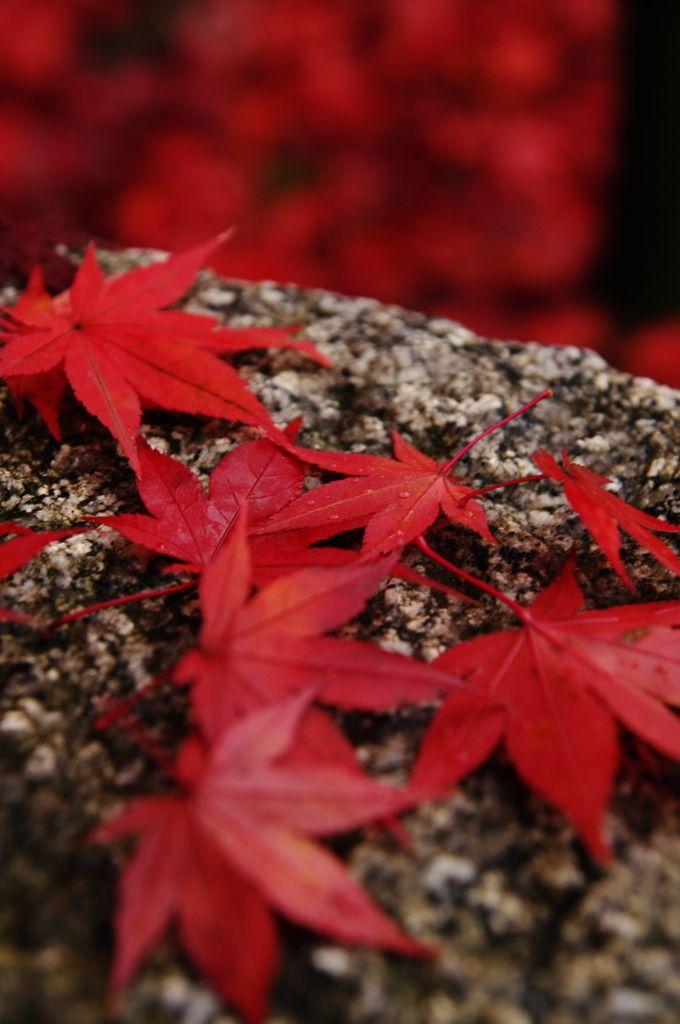 k641739021:石上の紅の写真(画像) 写真ID:2220744- 写真共有サイト:PHOTOHITO