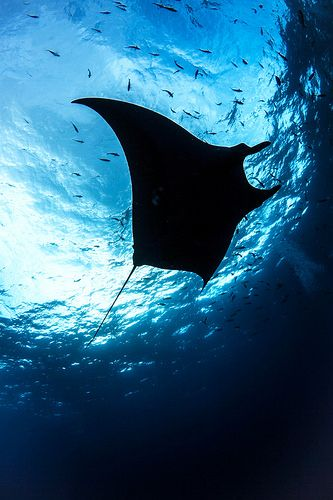 Manta ray www.flowcheck.es taller de equipos de buceo  Diving equipment workshop #buceo #scuba #dive