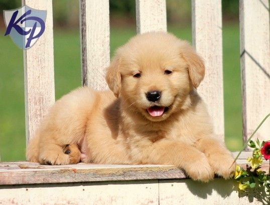 124 best images about Golden Retriever Puppies on ...