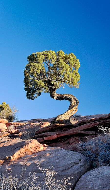 Twisted tree in Moab, Utah, USA • photo: Brent Clark on Flickr What sculptural movement!