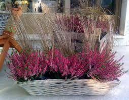 Risultati immagini per piante ornamentali invernali da esterno