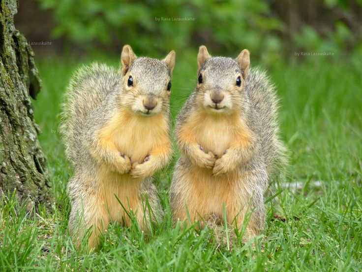 Best 233 Rodents Images Of Squirrels Chipmunks And