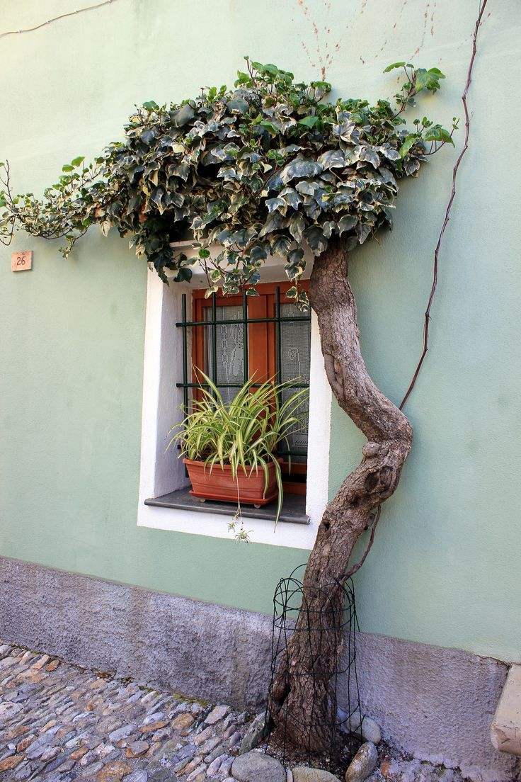 Vintage wooden window frame with curtain and flowerpot stock - In Borgio Verezzi Savona Italy This Little Window Has Its Own Private Shade Tree