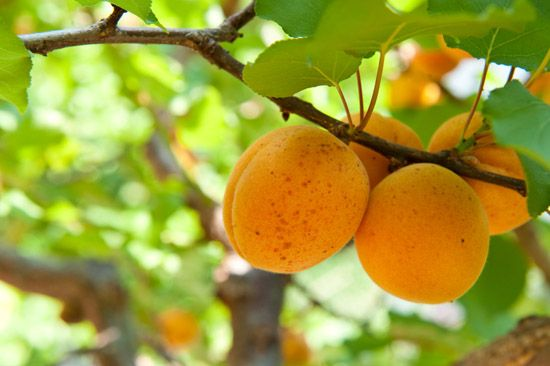 The benefits of Apricot kernel oil ~ Unlike some oils that remain on the surface of the skin, apricot kernel oil is readily absorbed without leaving a greasy residue. If you tend to experience dry, itchy skin after bathing or showering, this is the perfect oil to lightly apply to damp skin before toweling off.