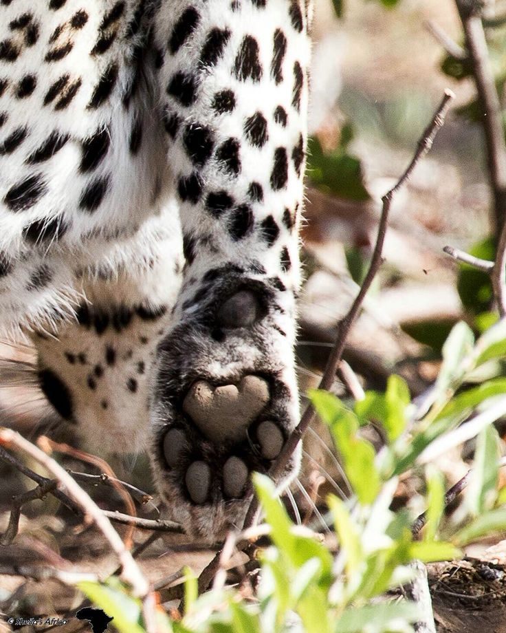 The paw of a leopard