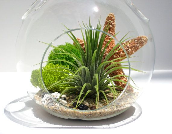 2781 best images about tillandsia 39 s air plants and bromeliads on pinterest air plant display. Black Bedroom Furniture Sets. Home Design Ideas