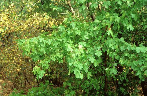 Mezei juhar (Acer campestre, Aceraceae) (Turcsányi Gábor felvétele)