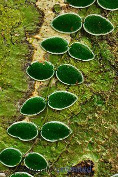 Vine growing on a rainforest tree, Danum Valley Conservation Area, Sabah Borneo, Malaysia.