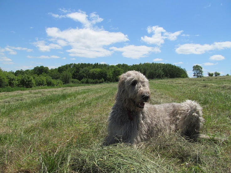 1000 Images About Irish Wolfhounds On Pinterest Wolves