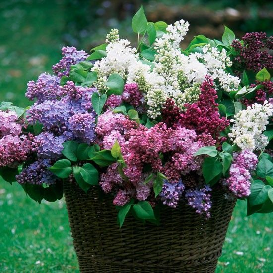 How to grow lilacs | Types of lilacs