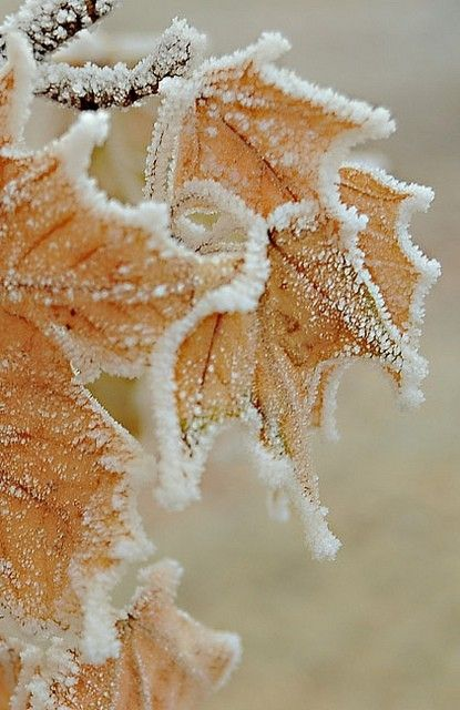Frosted leaves.
