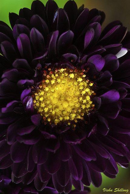 Purple Aster Flower~Gorgeous Deep Purple, looks like Velvet~❥