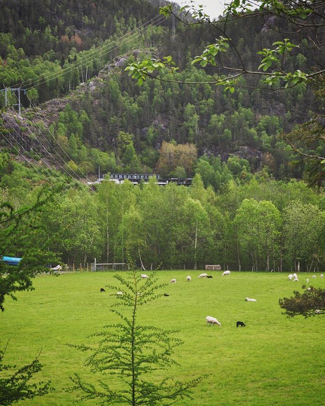 #green #walk #mountains #sheep #🐑 #photooftheday #nature #best #place #for #relax #nesflaten #happy #weekend #naturelover #💚 @country_features #dehistoriske #energihotellet #norge #norway #suldal #visitNorway  #Rogaland