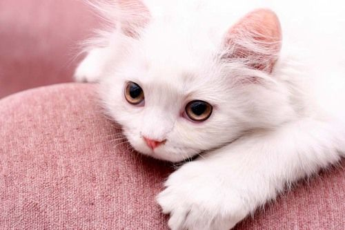: Warm Kitty, Meow Baby, Sweet Baby, Pink Chairs, Kitty Kitty, White Kitty, Pink Panthers, Baby Kitty, White Cat