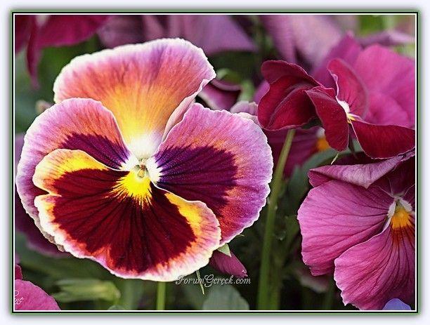 Hercai Menekşe (Viola Tricolor) | Bakımı, Üretimi, Yetiştirilmesi - Sayfa 2 - Forum Gerçek