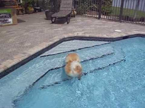 Chow Chow Swimming - like a boss